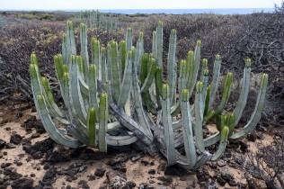 Euphorbia canariensis on Tenerife near Los Cristianos.
