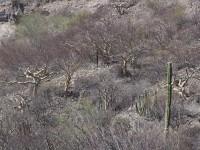 Bursera species near the Gulf of California on the hotter side of the Sierra Gigantea