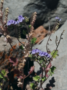 A species of Phacelia flowering after April rains.