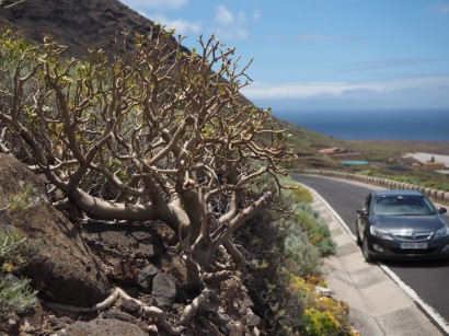 E. balsamifera on Tenerife near the Northwest tip (Teno). Note the parking situation.