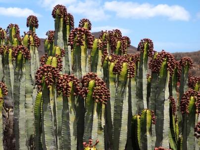 Fruits of Euphorbia canariensis