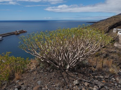 E. balsimifera above the El Hierro port and ferry terminal.