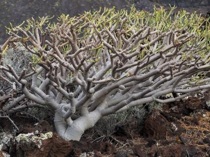 Closer view of E. balsimifera trunk