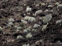 Euphorbia canariensis on steep hillside on El Hierro.