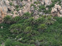 A grove of Canary Island Date Palms (Phoenix canariensis) on a hillside of La Gomera. These palms are hard to distinguish from Date Palms (Phoenix dactylifera) and the two hybridize. Very detailed maps of the palms of the Canary Islands exist.