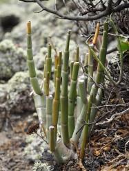 A Ceropegia species on El Hierro.