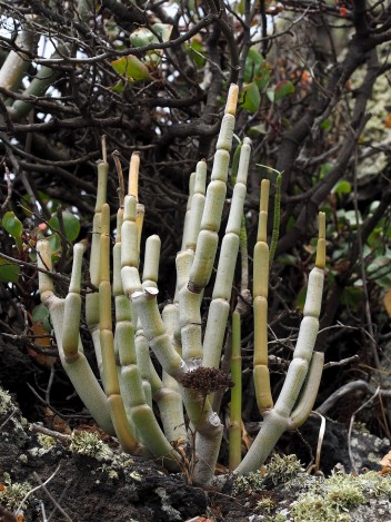 Another view of a Ceropegia on El Hierro. These plants were somewhat difficult to access - being on steep rocky lava flows.