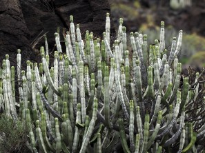 Euphorbia canariensis on El Hierro.